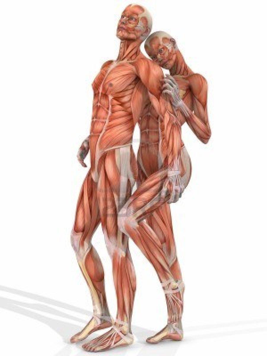 Excepcional Diagrama De La Musculatura De La Espalda Humanos Cresta ...